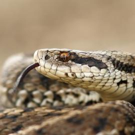Hungarian meadow viper